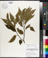 Image of Castanea x neglecta