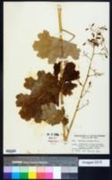Bocconia cordata image