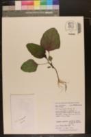 Amaranthus tricolor image