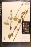 Image of Sabatia paniculata