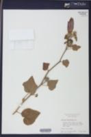Hibiscus furcellatus image