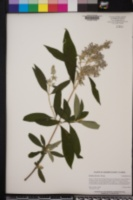 Buddleja officinalis image