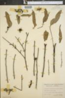 Image of Eucalyptus phaeotricha