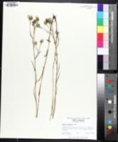 Image of Eurybia paludosa