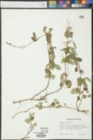 Desmodium lineatum image
