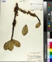 Image of Pelea clusiaefolia
