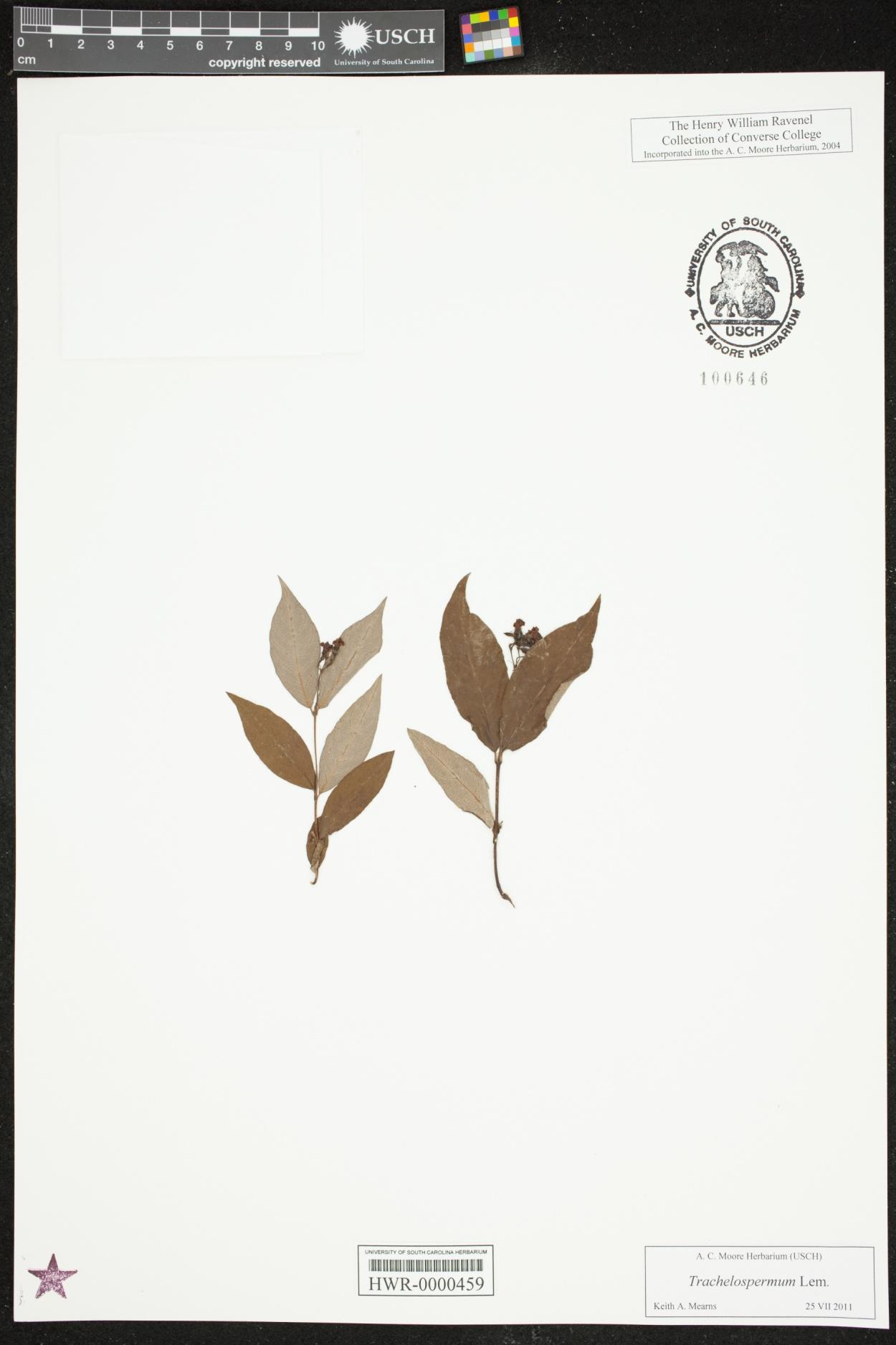Trachelospermum image