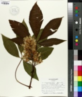 Image of Aesculus x neglecta