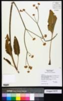 Image of Eriogonum elatum
