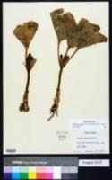 Trillium petiolatum image