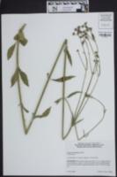 Verbena brasiliensis image