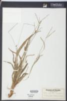Paspalum setaceum var. supinum image