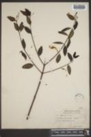 Image of Cameraria belizensis
