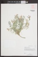 Image of Astragalus concordius