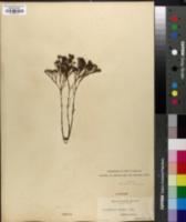 Paronychia jamesii image