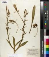 Oenothera longissima image