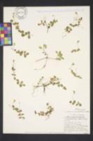 Image of Lindernia grandiflora
