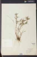 Panicum caerulescens image