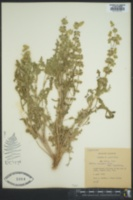 Image of Salvia lanigera