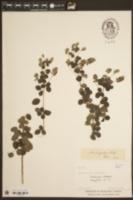 Image of Leontodon hispidus
