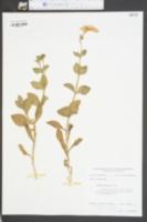 Image of Petunia nyctaginiflora