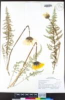 Balsamorhiza hirsuta image