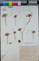 Allium abramsii image