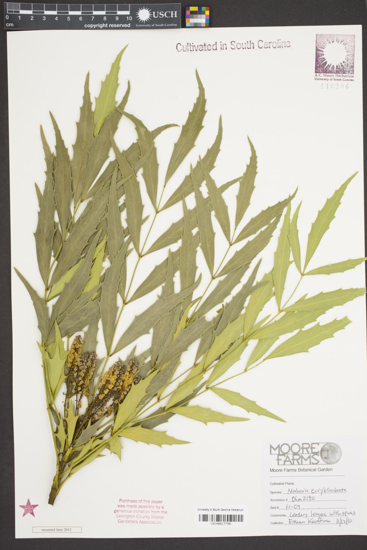 Mahonia eurybracteata image