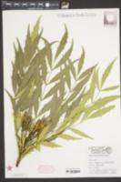 Image of Mahonia eurybracteata