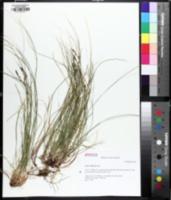 Image of Carex austrolucorum