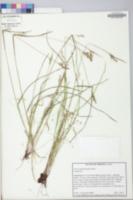 Scleria muehlenbergii image