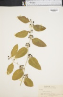 Image of Smilax lanceolata