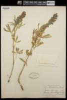 Lupinus alsophilus image