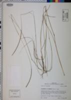 Coelorachis cylindrica image