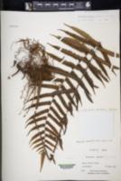 Thelypteris dentata image