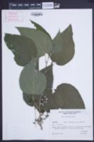 Image of Urera aurantiaca