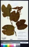 Image of Bauhinia cupulata