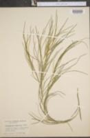 Potamogeton vaginatus image