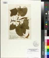 Tilia dasystyla image