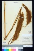 Saccharum giganteum image