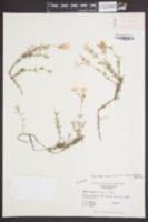 Phlox nivalis var. hentzii image
