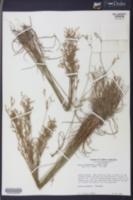 Juncus dichotomus image