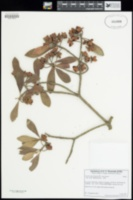 Ternstroemia lineata image