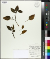 Image of Tubocapsicum anomalum