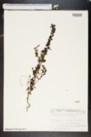 Image of Pedicularis palustris