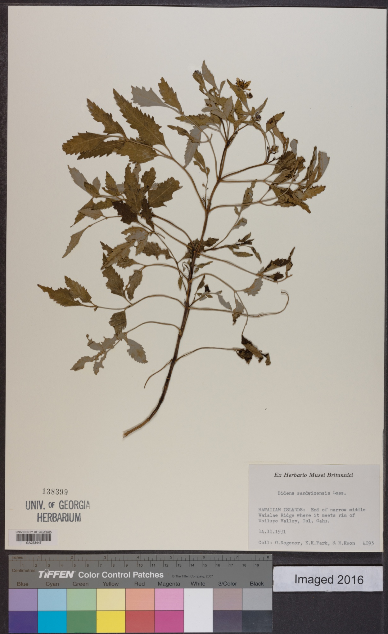 Bidens sandvicensis image