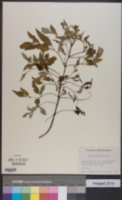 Image of Bidens sandvicensis