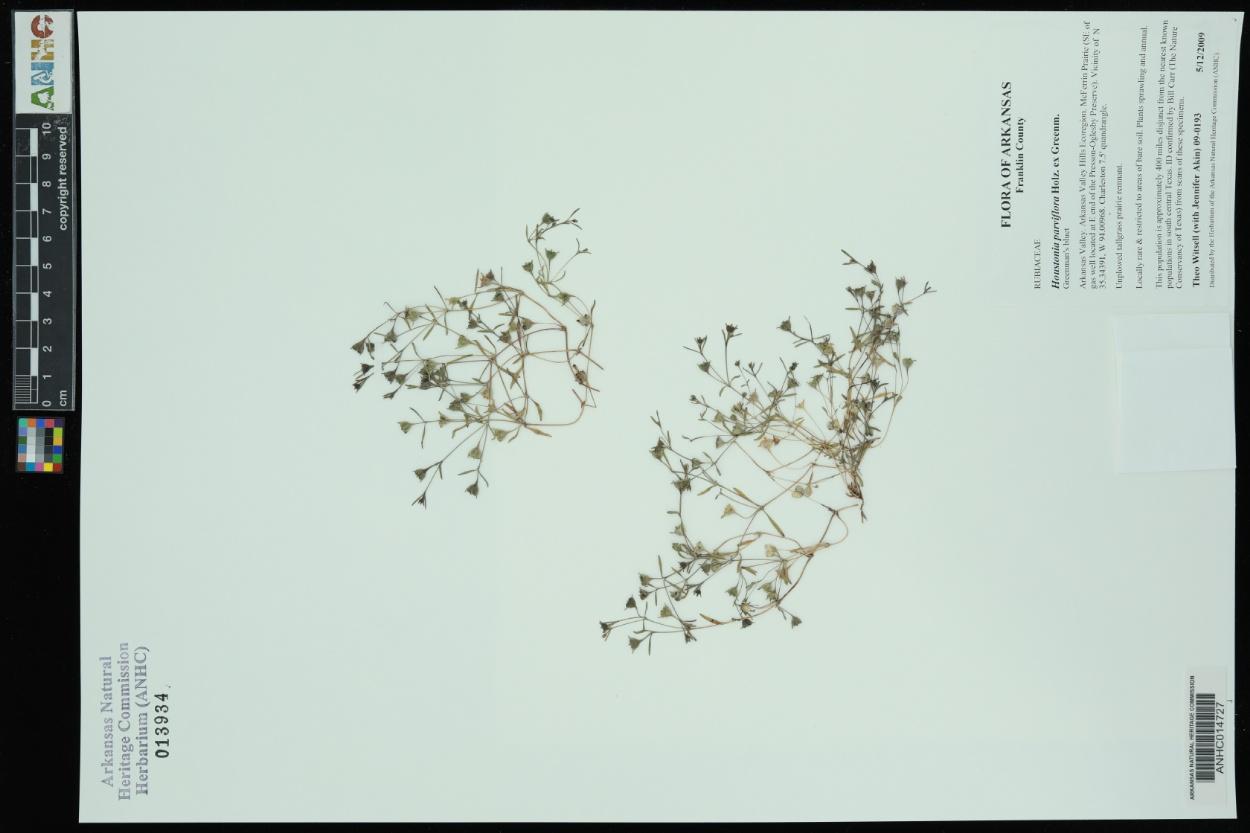 Houstonia parviflora image