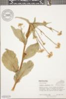 Image of Brassica pekinensis