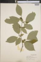 Image of Ilex monticola